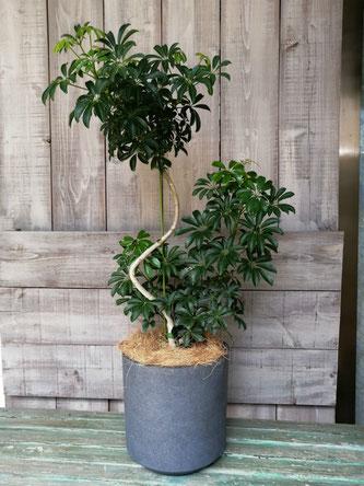 観葉植物、東京都渋谷区に当日配送可能。オフィスの移転祝に。