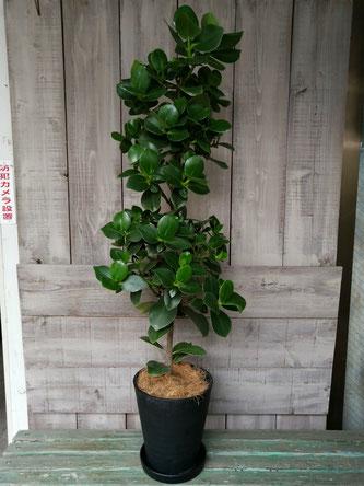 開店御祝の観葉植物。世田谷区三軒茶屋