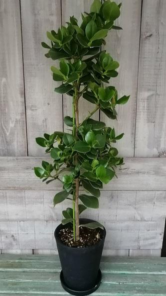 入荷情報「クルシアロゼアのプリンセス」。お洒落な観葉植物をお探しの方に。