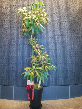 樹形の良いツピダンサスを恵比寿の肉バーの周年御祝に。