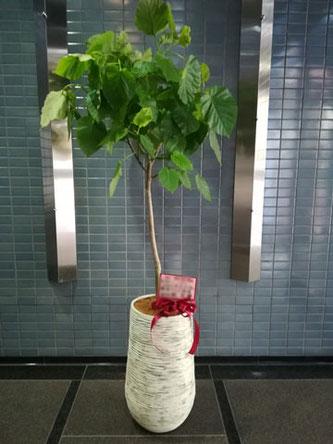 事務所移転御祝 観葉植物 港区西麻布