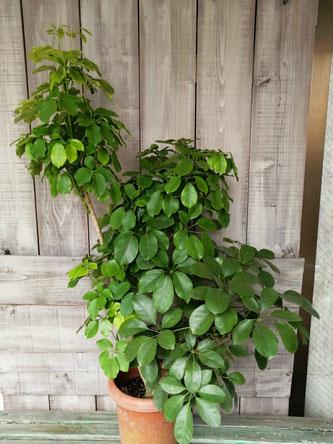 観葉植物シェフレラ・マルコ。カポックの中でも希少種です。目隠し用のインドアグリーンとしてもおすすめです。