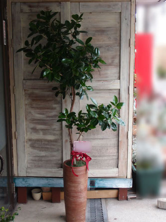 港区西麻布のレストランの開店御祝。フランスゴムの木です。