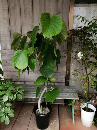 フィカスウンベラータ。目黒区、渋谷区等、観葉植物配送可能です。流行りのインドアグリーンです。