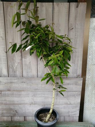アマゾンオリーブ入荷。樹形もかっこいいものを選びました。オリーブではなく、フトモモ科です。