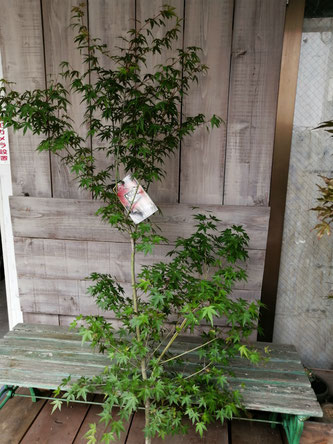 イロハモミジ、入荷。渋谷区、港区、目黒区など配達可能です。庭木に最適です。