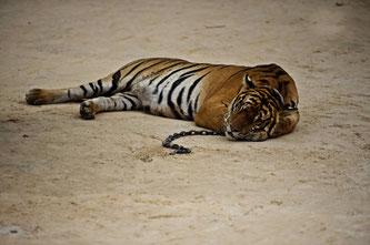 Ein Leben in Ketten: Die Tiger im thailändischen Kanchanaburi-Tigertempel werden vermutlich mit Beruhigungsmitteln betäubt Foto: James Morgan/WWF