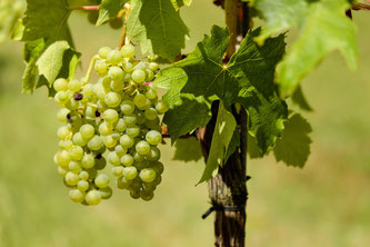 Weniger Wein, dafür gute Qualität