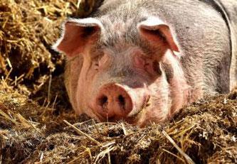 Afrikanische Schweinepest © Tous droits réservés - Pixabay/CCO