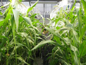 Bt-Mais in einem Gewächshaus (Mario Waldburger, Agroscope)