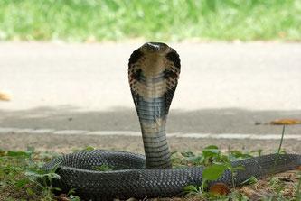 Die Chinesische Kobra könnte der Ursprung des tödlichen Virus sein.