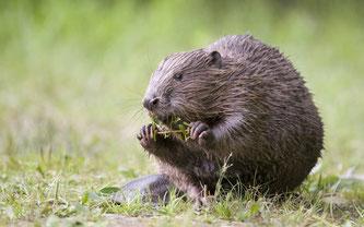Schweizer Bundesparlament verabschiedet sich vom Artenschutz.