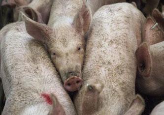 Den Wissenschaftlern zufolge waren bereits 10,4 Prozent der Schweinehalter mit dem neuen Virus infiziert.