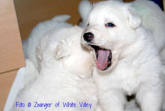 White Valley - Welpen - Weisse Schäferhunde aus Niedernsill