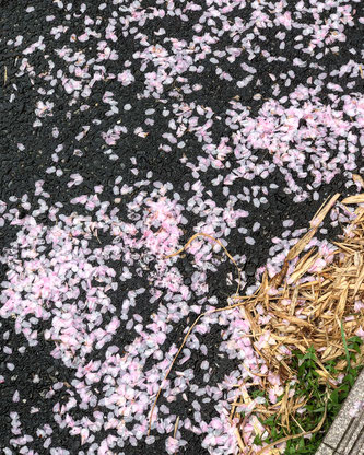 Pétalos de sakura caídos tras la lluvia.