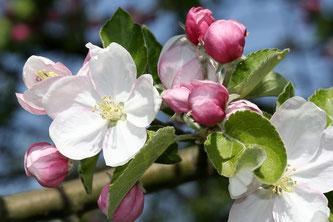Apfelblüte, Foto: NABU / Helge May