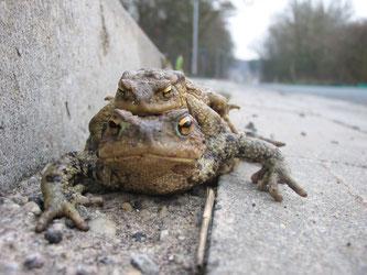 Erdkröten auf Wanderschaft am gefährlichen Straßenrand. Foto: Wolf-Rüdiger Große