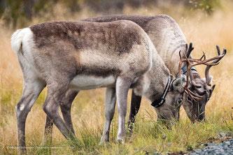 Weidende Rentiere in Lappland