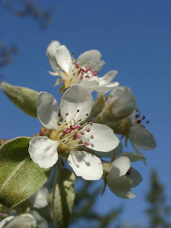 Birnenblüte - erste Frühjahrsgrüße an Wildbiene & Co.