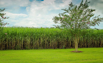 Sugar cane fields for producing rum agricole