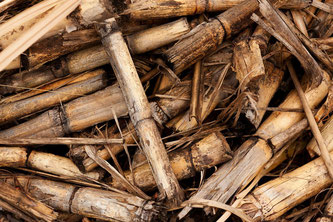 Crushed sugar cane for creating rum agricole
