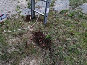 Verdorrte Rückstände der Blütenstände der Edelkastanie - Withered residues of the sweet chestnut inflorescences