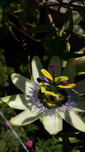 Passionsblume, blaue Passionsblume, Passiflora caerulea, Copyright, AincaArt, Ainca Kira, Foto und Text, Writer, Photographer, Photography