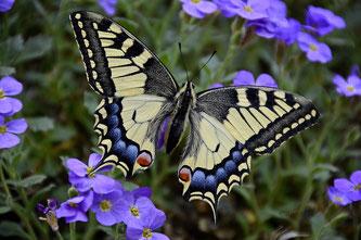 Schwalbenschwanz, Papilio machaon, Swallow Tail, Copyright, AincaArt, Ainca Kira, Foto und Text, Writer, Photographer, Photography