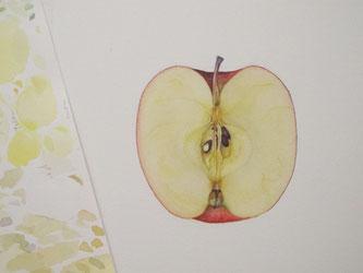 水彩画 ボタニカルアート リンゴ 断面
