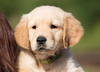Ein gelassener und entspannter, als Schulhund geeigneter Labrador-Welpe