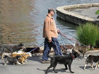 Mann mit Hut und acht Hunden an kurzer Leine! Ist das noch artgerecht?