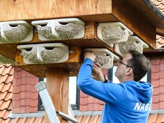 Dr. Nick Büscher befestigt die Schwalbennester. - Foto: Kathy Büscher