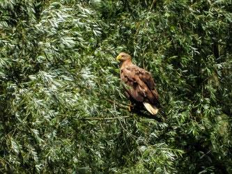 Auch die Seeadler halten sich in geringer Distanz zu den Anlagen auf. - Foto: Kathy Büscher
