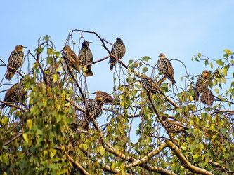 Eine Gruppe Stare im Baum. - Foto: Kathy Büscher