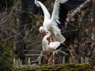 Auch die Paarung konnte von den ehrenamtlichen beobachtet werden. - Foto: Kathy Büscher