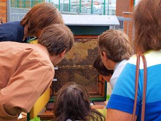 Ein Schaukasten ermöglichte einen Blick in das Innere eines Bienenvolks, ganz ohne Gefahr. - Foto: Kathy Büscher
