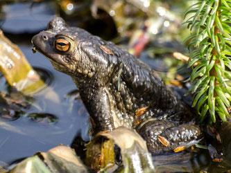 Erdkröten-Männchen im Teich. - Foto: Kathy Büscher
