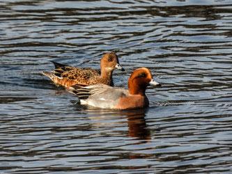 Ein Pfeifenten-Paar auf dem Wasser. - Foto: Kathy Büscher