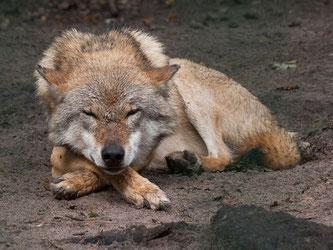 Friedlicher Bewohner: Schlafender Wolf. - Foto: Kathy Büscher