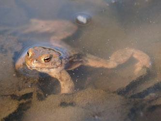 Dieses Erdkröten-Männchen hat es dank der ehrenamtlichen Naturschützer an sein Laichgewässer geschafft. - Foto: Kathy Büscher