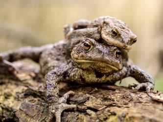 Ein Erdkröten-Doppeldecker auf Wanderschaft. - Foto: Kathy Büscher