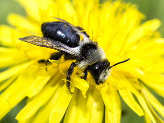 Dort werden bald verschiedene Wildbienen nisten. - Foto: Kathy Büscher