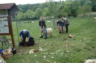 Die Schafe müssen von ihrer Last befreit werden. - Foto: Britta Raabe