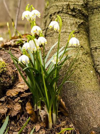 Blühende Märzenbecher im Wald. - Foto: Kathy Büscher