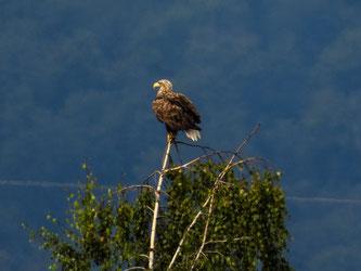 Einer der Seeadler setzte sich auf einen Baum. - Foto: Kathy Büscher