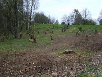 Knickbrink im April 2008 - Nach Entfernen des Totholzes. - Foto: Kathy Büscher