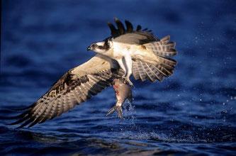 Fischadler angelt sich einen Fisch - Foto: Bernd Volmer