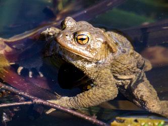Diese Erdkröte hat die Wanderung unbeschadet überstanden. - Foto: Kathy Büscher
