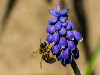 Nicht nur den Honigbienen, sondern auch andere heimische Hautflügler stehen im Fokus. - Foto: Kathy Büscher