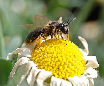 Eine Wildbiene sammelt Pollen. - Foto: Kathy Büscher
